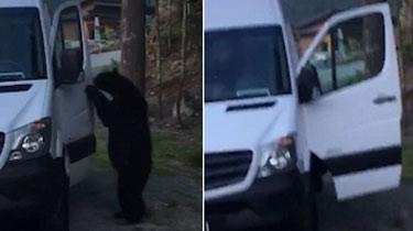 加拿大:黑熊輕松開車門 跳上車後鳴笛示意