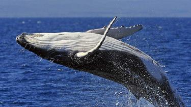 驚險!出海偶遇座頭鯨