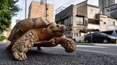 街頭遛巨龜 急壞後方車