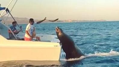 奇葩海豹趴船尾要食物