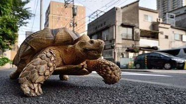 遼寧大連:街頭遛巨龜 急壞後方車