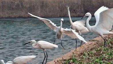山東棗莊吸引近萬只白鷺安家