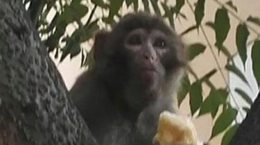 江西南昌:小猴闖小區 吃喝打砸樣樣來