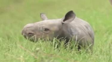 萌萌噠:英國動物園接連降生珍稀黑犀牛
