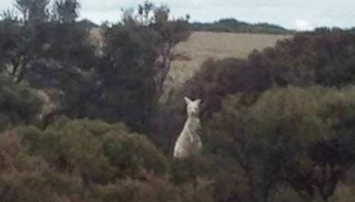 澳大利亞發現罕見白色袋鼠