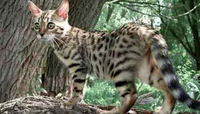 陜西:紅外相機捕捉豹貓一家四口活動影像