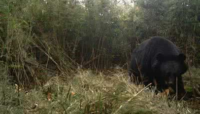 陜西:紅外相機拍到豹貓和黑熊影像
