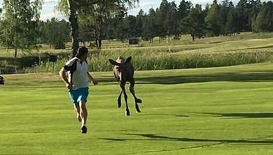 瑞典高爾夫球手被駝鹿追得滿場跑