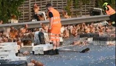 奧地利:貨車司機打盹 數千只雞外逃導致堵車