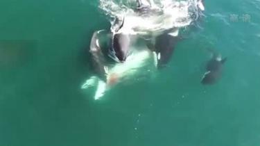 罕見!小須鯨慘遭虎鯨群攻 力盡被食