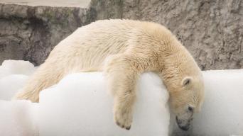 熱浪席卷布達佩斯 北極熊靠冰塊解暑