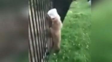 美國:貪吃小熊被塑料瓶卡住
