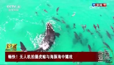 暢快!無人機拍攝虎鯨與海豚海中嬉戲