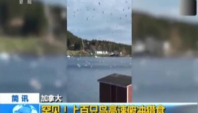 加拿大:罕見! 上百只鳥高速俯衝獵食