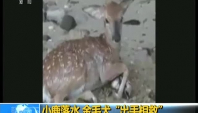 """小鹿落水 金毛犬""""出手相救"""""""