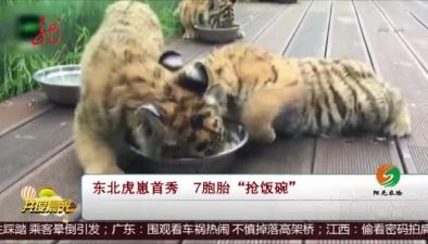"""東北虎崽首秀 7胞胎""""搶飯碗"""""""