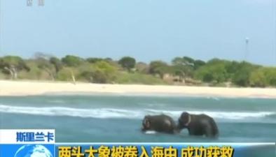斯裏蘭卡:兩頭大象被卷入海中 成功獲救