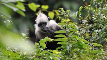 世界瀕危動物白頭葉猴種群數量增至千只