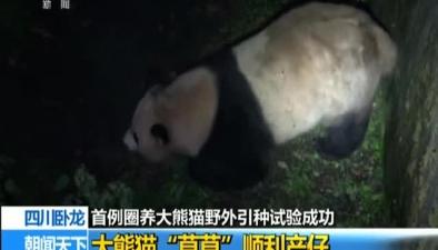 """四川臥龍:首例圈養大熊貓野外引種試驗成功 大熊貓""""草草""""順利産仔"""