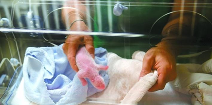 """旅法大熊貓""""歡歡""""誕下雙胞胎 一只幼崽幸運存活"""