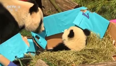 旅奧大熊貓雙胞胎寶寶慶祝周歲生日