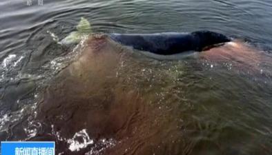 俄羅斯:俄環境部對擱淺鯨展開救援