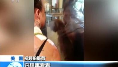 美國:貼心! 猩猩隔窗細看女子傷疤