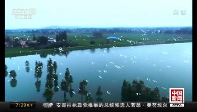 安徽廬江:上萬白鷺翩翩起舞 美景勝畫卷