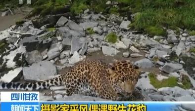 四川甘孜:攝影家採風偶遇野生花豹