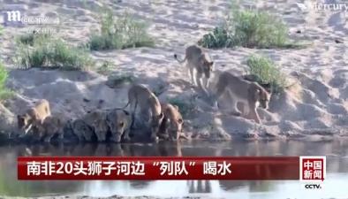 """南非20頭獅子河邊""""列隊""""喝水"""