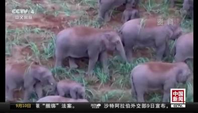 雲南景洪:玉米收獲 野象進田吃大餐
