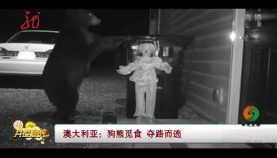 澳大利亞:狗熊覓食 奪路而逃