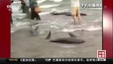 廣東陽江:海豚擱淺海灘 眾人合力救援