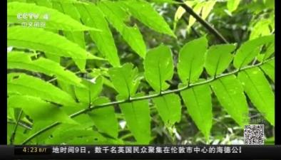 雲南:再現瀕危植物雲南金錢槭