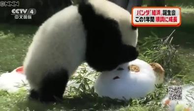 """旅日大熊貓""""結濱""""迎一歲生日 遊客送祝福"""