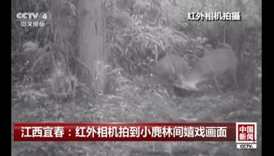江西宜春:紅外相機拍到小麂林間嬉戲畫面