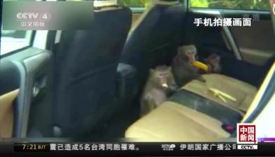 """雲南昆明:三只獼猴""""強佔""""遊客車輛"""