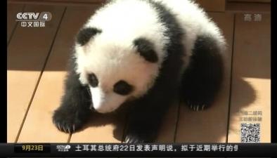 陜西:4只新生熊貓亮相 3只公開徵名