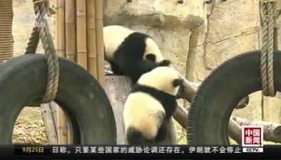 """上海:熊貓""""月月""""和""""半半""""將滿周歲"""