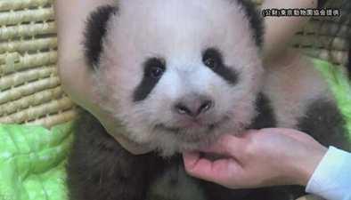 """日本:日本出生的熊貓幼崽取名""""香香"""""""