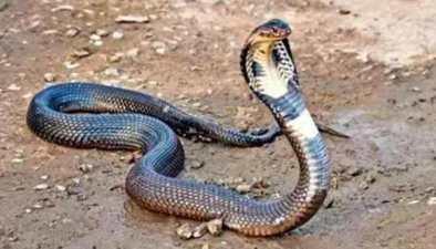 雲南大理:捕蛇大王赴巍山生擒眼鏡王蛇