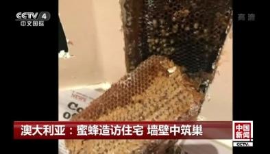 澳大利亞:蜜蜂造訪住宅 墻壁中築巢