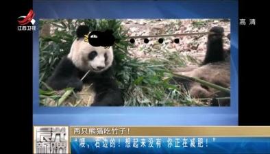 """兩只熊貓吃竹子! """"喂,右邊的!想起來沒有 你正在減肥!"""""""