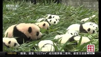 中國大熊貓保護研究中心2017級大熊貓寶寶首次集體亮相