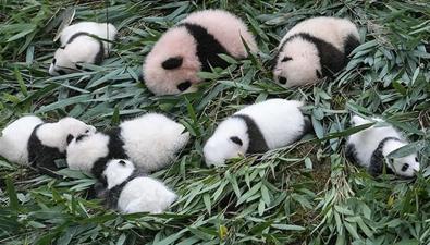 2017級大熊貓寶寶集體亮相