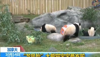 """加拿大:""""龍鳳胎""""大熊貓寶寶兩歲啦"""