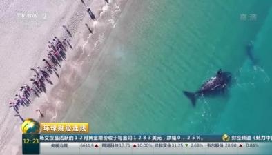 成群南露脊鯨聚集阿根廷海岸 吸引大批遊客