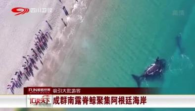 吸引大批遊客:成群南露脊鯨聚集阿根廷海岸