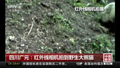 四川廣元:紅外線相機拍到野生大熊貓