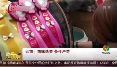 雲南:貓咪選美 條件嚴苛